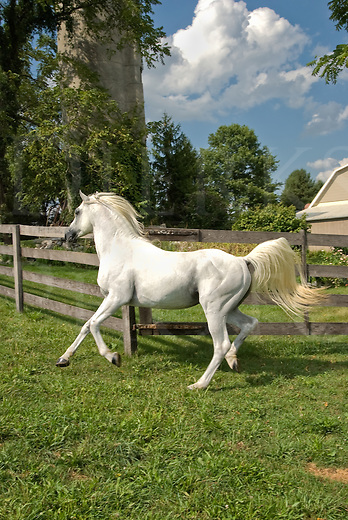 Picture of a white Arabian horse running along a fence edge.