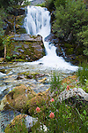 Indian Paintbrush wildflowers and a waterfalls in Strawberry Creek in the Bob Marshall Wilderness in Montana