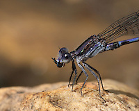 Damselflies are very successful hunters with bristly front legs to catch their victims and large mouth parts to crunch them up. The insect order they belong to is known as Odonata which means 'toothed jaw'.