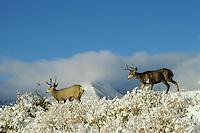 Mule deer bucks (Odocoileus hemionus ) in Northern Rockies. Fall.  Snow is common in late September-October.