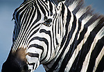 Portrait of a Burchells zebra in Tanzania at the Ngorongoro Crater.