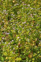 Echter Buchweizen, Gemeiner Buchweizen, Fagopyrum esculentum, Buckwheat