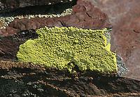 Gold Cobblestone Lichen (Pleopsidium chlorophanum) on shale. Along White Mountain Road. Ancient Bristlecone Forest. Inyo National Forest. Mono Co., Calif.