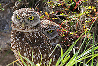 One and a half burrowing owls