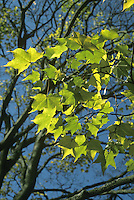 Cappadocian Maple Acer cappadocicum (Aceraceae) HEIGHT to 25m. Broadly domed tree. BARK Grey and smooth. BRANCHES With crimson young twigs. LEAVES To 15cm long, with 5 untoothed lobes tipped with 'whiskers'; dark green above with hair tufts on vein axils below; leaves turn yellow in autumn. REPRODUCTIVE PARTS Yellow flowers in erect, branched heads. Fruits green with paired wings. STATUS AND DISTRIBUTION Native from Caucasus eastwards, planted here for ornament.