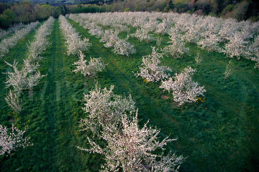 Overview of an apple orchard with flowering apple trees in the spring. Massachusetts.