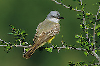 Couch's Kingbird, Tyrannus couchii,adult, Starr County, Rio Grande Valley, Texas, USA