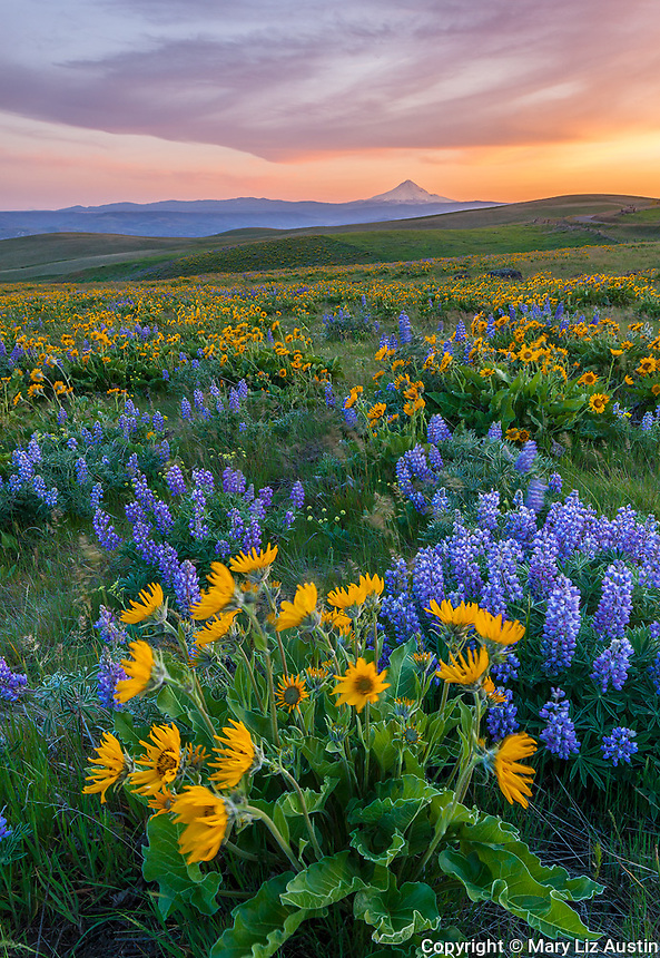 Columbia Hills State Park, Washington: Evening light on lupine and balsam root blooming on a hillside in the Columbia Hills above the Columbia River with Mount Hood in the distance