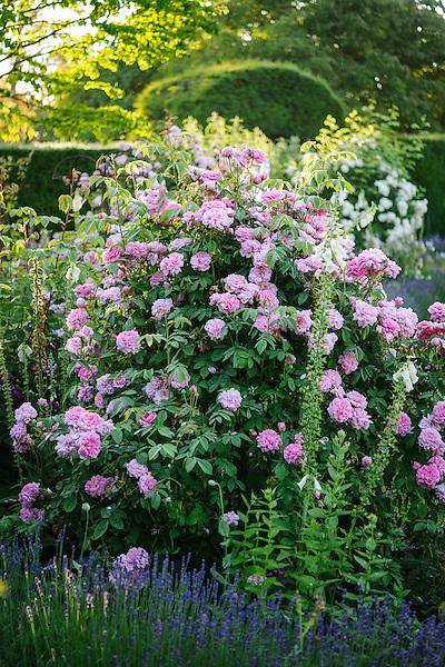 Rosa 'Jacques Cartier'