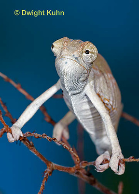 CH47-858z  Veiled Chameleon three month old young, Chamaeleo calyptratus