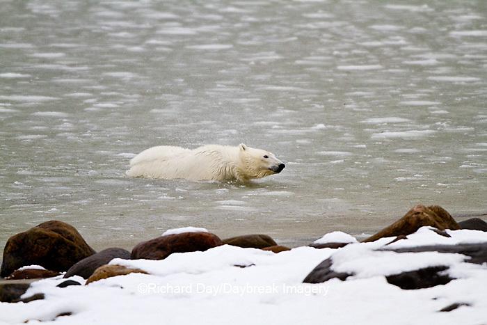 01874-12717 Polar bear (Ursus maritimus) swimming in Hudson Bay in winter, Churchill Wildlife Management Area, Churchill, MB Canada