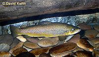 "1215-0905  Brown trout or Sea trout, Salmo trutta fario ""Introduced species to the United States from Europe"" © David Kuhn/Dwight Kuhn Photography"