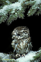 OW02-064z   Saw-whet owl - turning head around - Aegolius acadicus