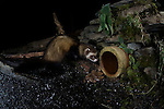 A wild European polecat (Mustela putorius) exploring a  pipe outlet on a frozen pool, near Corwen, north Wales