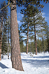 pine forest at Donner Memorial State Park