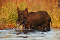 Feral Pig (Sus scrofa), adult drinking from pond, Fennessey Ranch, Refugio, Corpus Christi, Coastal Bend, Texas Coast, USA