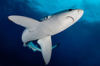 Blue Shark, Prionace glauca, view from below with the shark in a nice shape with sunlight in the back and dark blue background, offshore, Cape Point, Cape Town, False Bay, South Africa, Atlantic Ocean, Indian Ocean