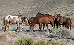 A herd of wildhorses graze above Washoe Lake along Deadman's Creek trail in Washoe Valley, Nev., on Thursday, Sept. 17, 2015.  <br /> Photo by Cathleen Allison