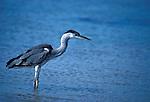 Grey Heron, Areda cinerea, wading in water fishing