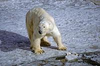 IJsbeer (Thalarctos maritimus)  met prooi rest op het zee ijs