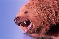 Kodiak Bear aka Alaskan Grizzly Bear and Alaska Brown Bear (Ursus arctos middendorffi) growling