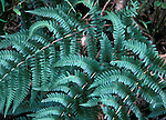 Coastal Woodfern (Dryopteris arguta), Sierra Nevada Range, California, USA