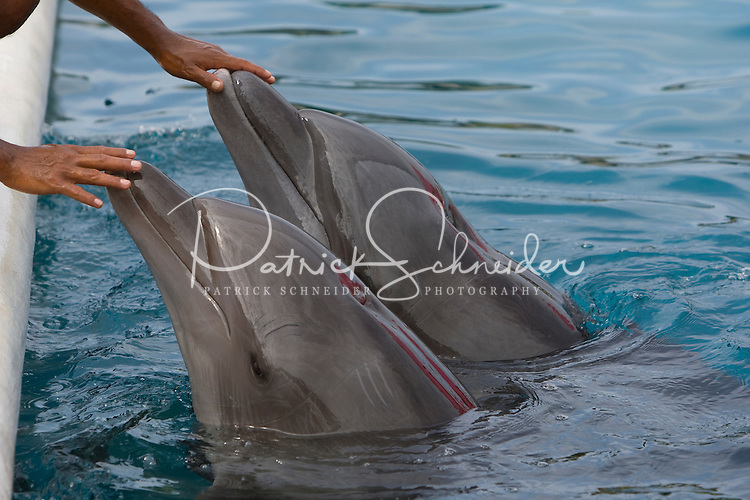 A dolphin trainer at Delfiniti Ixtapa in downtown Ixtapa gives instructions to two show dolphins during a show for tourists. (photo taken August 2007) Photo by Patrick Schneider Photo.com