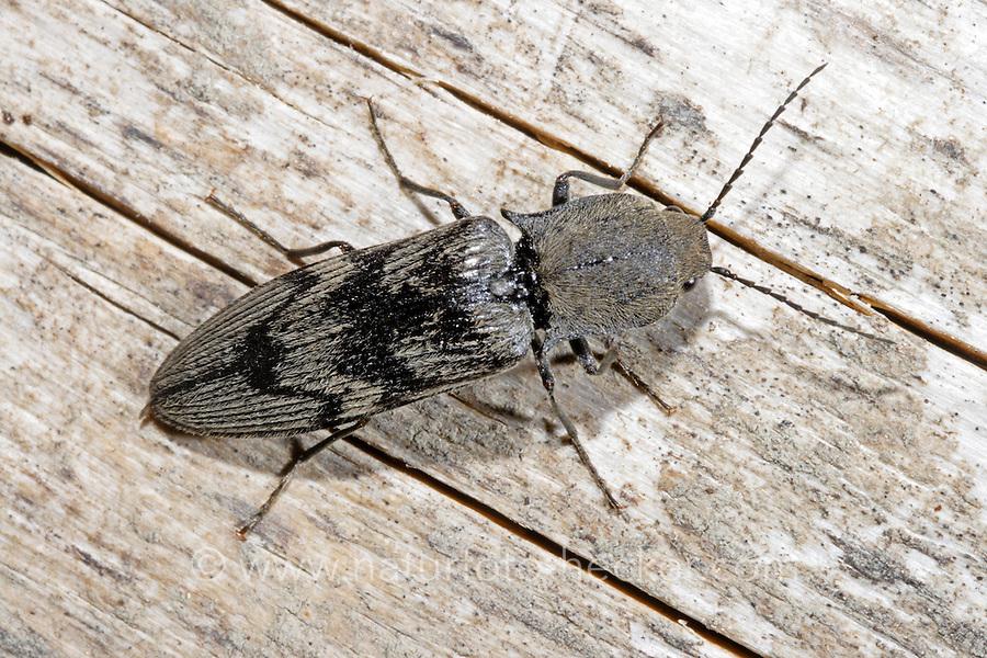 Schnellkäfer, Harminius undulatus, Diacanthous undulatus, Click beetle, Schnellkäfer, Elateridae, Click beetles