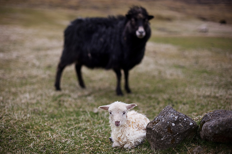A new born baby lamb lies in front of its mother in the Faroe Islands.