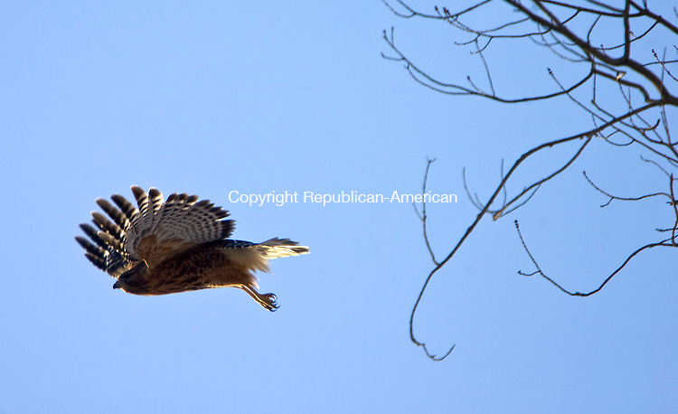 MIDDLEBURY, CT - 15 JANUARY 2009 -011509JT01-<br /> A red-shouldered hawk flies from one tree to another near Fenn's Pond in Middlebury on Thursday afternoon.<br /> Josalee Thrift / Republican-American
