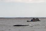 Pil'tun Bay, Sakhalin Island.Western Grey Whales.