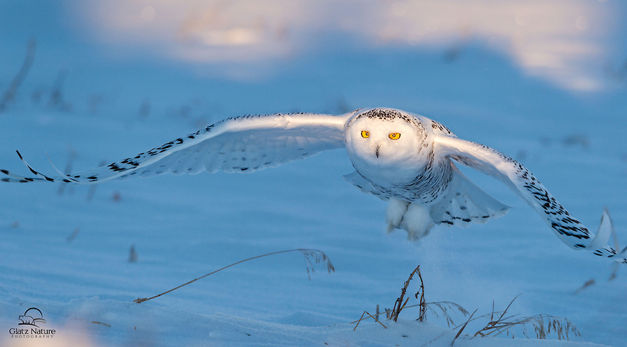 You can see the membranes covering a portion of this Snowy Owl's (Bubo scandiacus) eyes.  They don't have eyelids, so these membranes protect their eyes when the owls come in diving.  Alberta, Canada