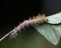 Caterpillar of moth; Automeris sp. (probably postalbida), has potent sting; Ecuador, Prov. El Oro, Buenaventura Biological Reserve