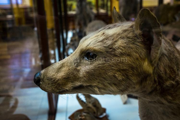 Thylacine: Extinct Tasmanian Tiger in The Dead Zoo - Natural History Museum, Dublin, Ireland