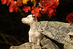 Jack Russell Terrier puppy in fall on rocks.