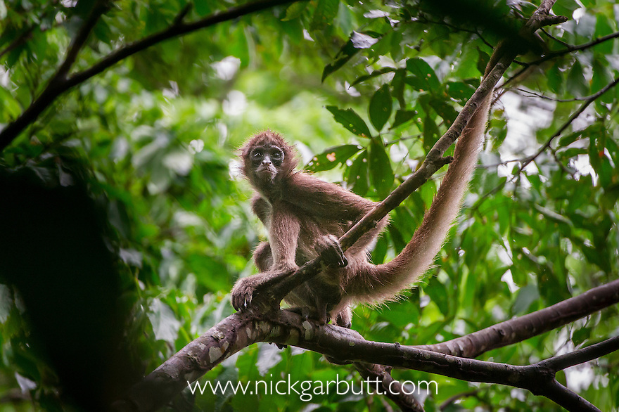 Female Brown Spider Monkey (Ateles hybridus) in forest canopy. Paujil Nature Reserve, Magdalena Valley, Colombia. Colombia-Venezuala endemic. Critically Engangered.