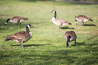 Geese on the Grass at a Park