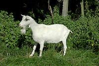 British Saanen Goat - Capra nircus