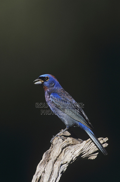Varied Bunting (Passerina versicolor), adult singing, Starr County, Rio Grande Valley, Texas, USA