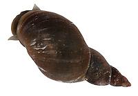 Great Pond Snail - Lymnaea stagnalis