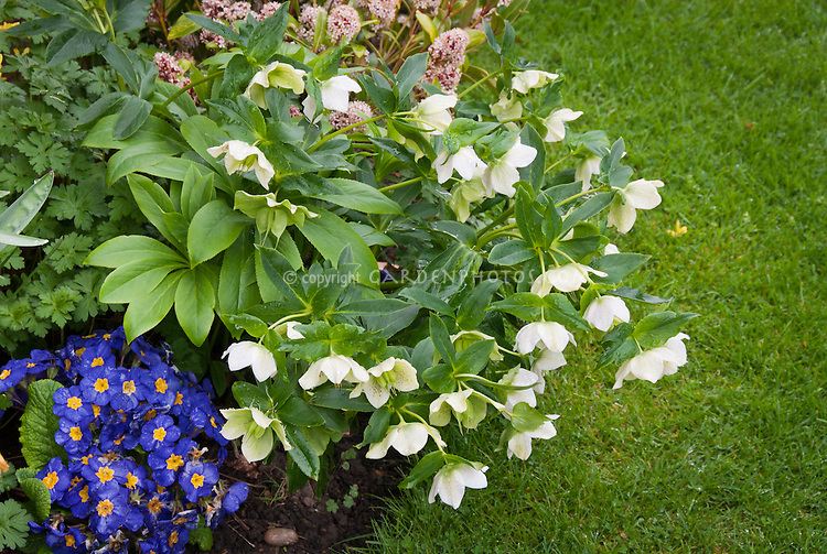 Helleborus, blue Primula elatior Piano Blue primroses, Skimmia next to lawn grass in plant combination in spring bloom