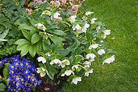 Helleborus, blue Primula elatior Piano Blue primroses, Skimmia next to lawn grass in plant combination in spring bloom