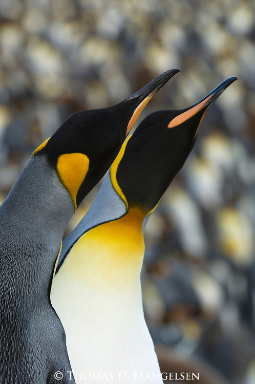 Portrait of a pair of king penguins at St. Andrews Bay on South Georgia Island.