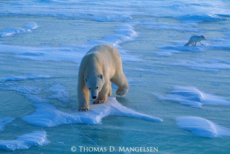 A polar bear walks across the ice with an arctic fox following behind in Canada.