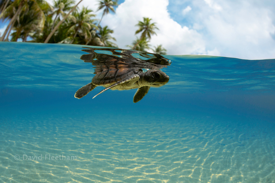 A split view of a newly hatched baby green sea turtle, Chelonia mydas, an endangered species, just entering the ocean off the island of Yap, Micronesia.