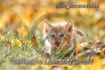 REALISTIC ANIMALS, REALISTISCHE TIERE, ANIMALES REALISTICOS, cats, paintings+++++,USLGSC162044496,#A#, EVERYDAY ,photos,fotos,pounce,cat,cats,kitten,kittens,Seth