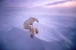 Following three days of white-out blizzard conditions, a mother polar bear and her yearling cub raise their heads to a new day on the edge of Hudson Bay in Manitoba, Canada.