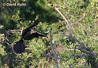 0111-0977  Flying Double-crested Cormorant, Phalacrocorax auritus  © David Kuhn/Dwight Kuhn Photography