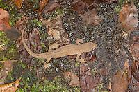 Teichmolch, Landtracht, Teich-Molch, Molch, Molche, Triturus vulgaris, Lissotriton vulgaris, Smooth Newt, Common Newt