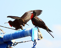 Pair of adult male magnificent frigatebirds on shrimp boat anchored offshore of South Padre Island, TX on August 29,2015.